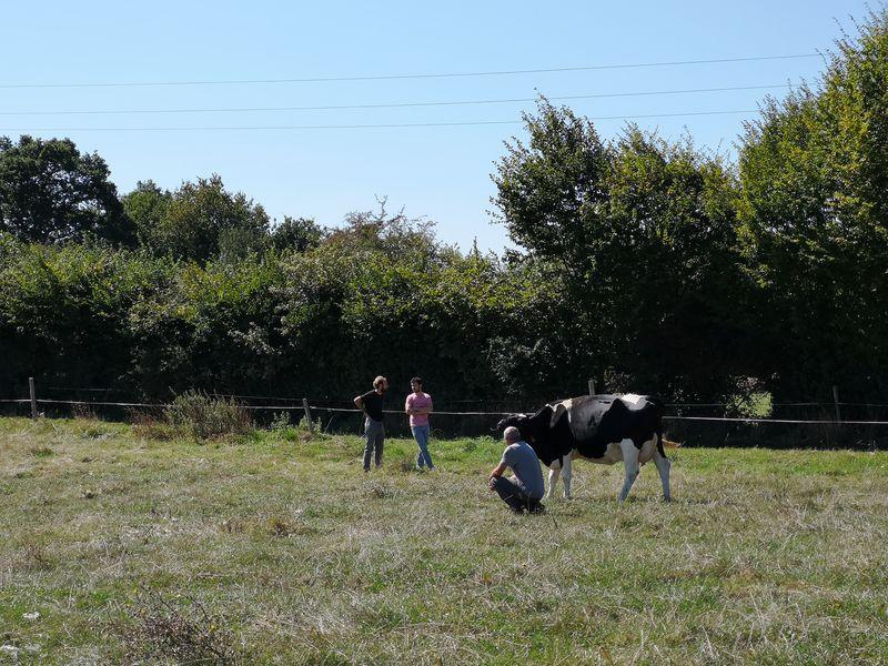 Vaches au champ