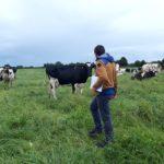 Prairie vaches laitières